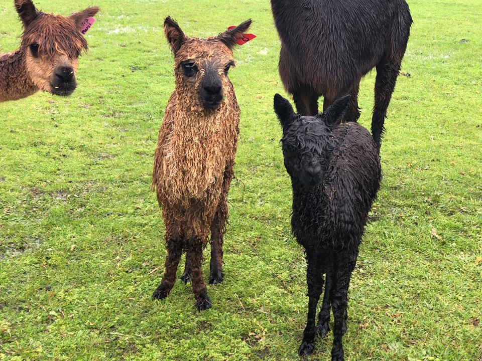 Alpacas coming to Nature's Atelier